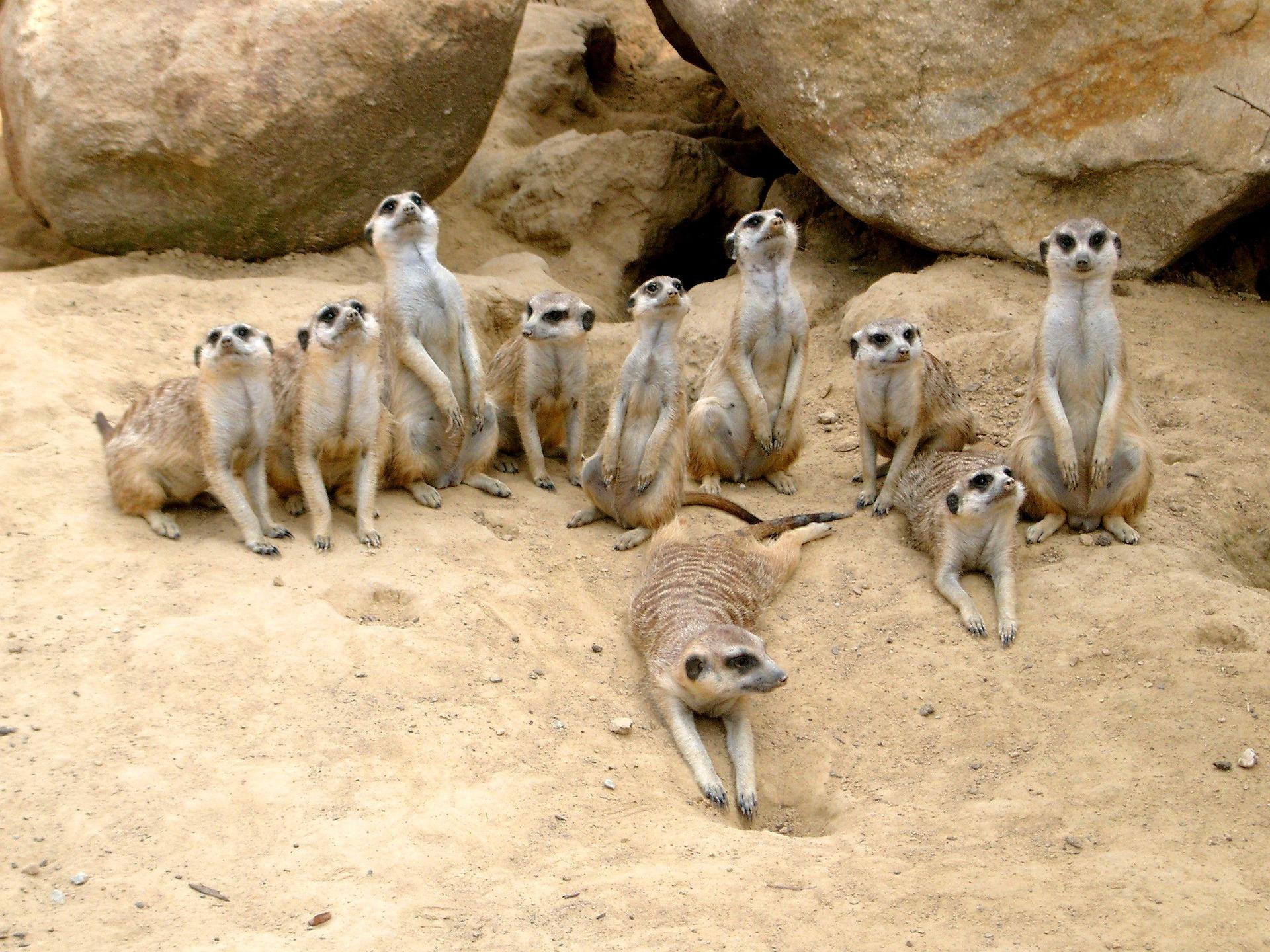 meerkat-363049_1920